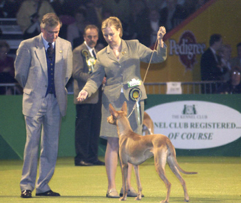 The judge is looking at Glimma in the houndgroup at Crufts. Photo: Karl Donvil