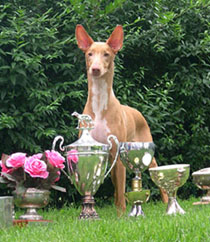 Napi after winning BIS at the Pharaoh Hound Club Specialty!