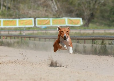 Our smart girl that has high prey drive, fast like lightning, does agility and tricks with joy.